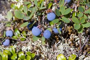 Северная ягода на  Мартае